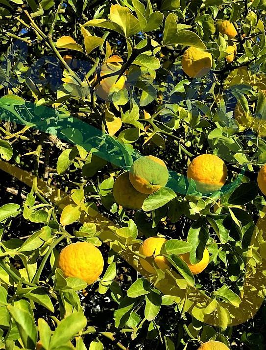 El naranjo espinoso