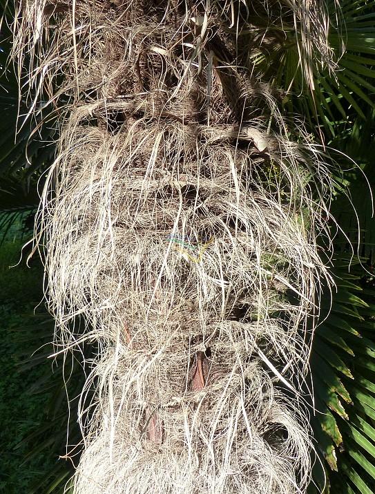 Tracheycarpus fortuneii