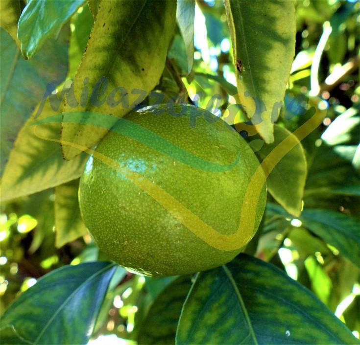 La Varietà Mapo è l'incrocio fra il mandarino cultivar Avana e il pompelmo cultivar Duncan