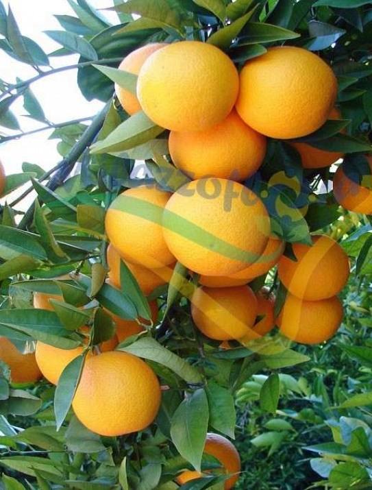 The Valencia Late orange