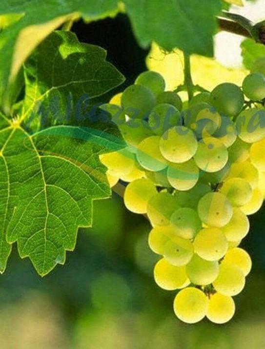 The common grape vine
