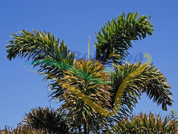 Particolare della corona e delle foglie della Foxtail palm
