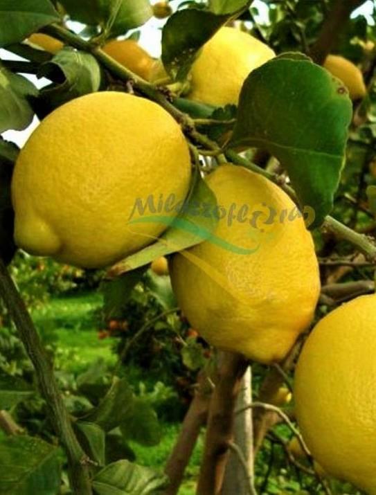 Le citronnier Zagara Bianca
